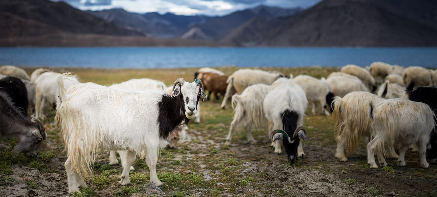 where cashmere comes from